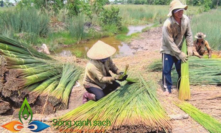 Thu hoạch cỏ bàng tại Long An